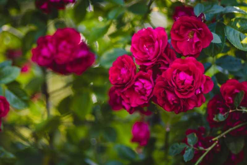Ваш сад и огород: шесть типов роз