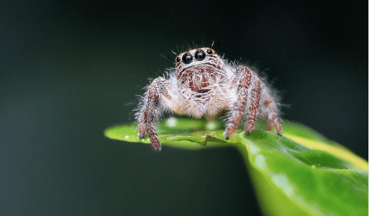 Австралийские программисты научились определять опасных пауков с помощью телефона