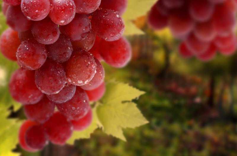 Тысячи долларов за гроздь винограда