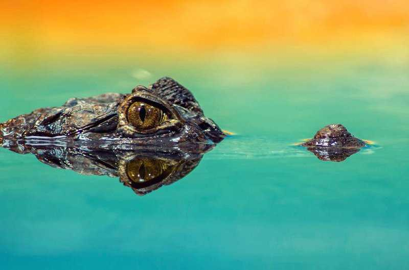 Действительно ли существуют крокодиловые слёзы?