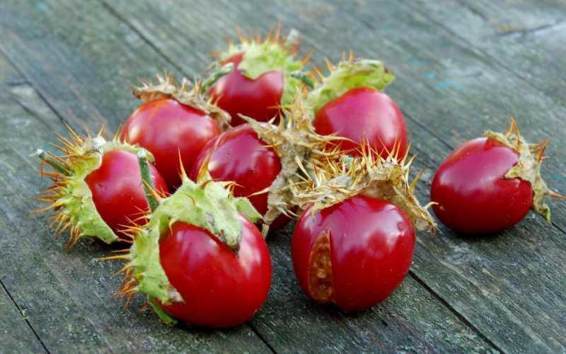 Необычный томат: шипаст и ядовит