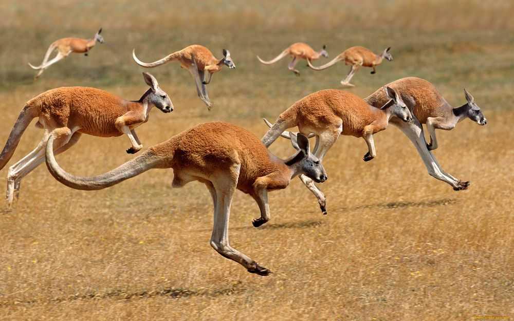 Австралия перенаселена кенгуру, и учёные не знают, что с этим делать
