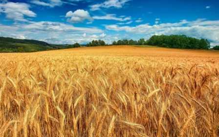 Золотые колосья хлеба…