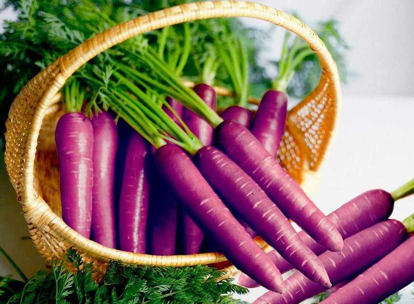 Раньше морковь была…фиолетовой!