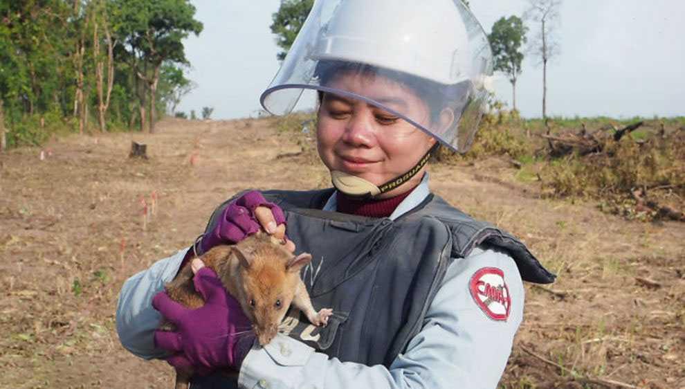 Награжденная медалью крыса-сапер вышла на пенсию. С ее помощью обезвредили 71 мину и 38 снарядов