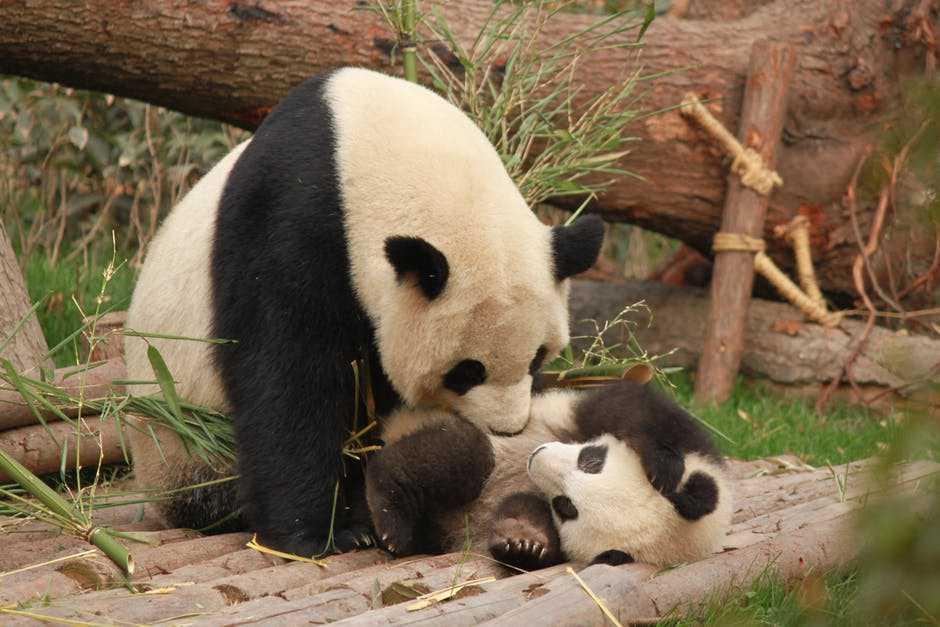 Панды больше не находятся под угрозой исчезновения. Их количество в дикой природе выросло до 1800