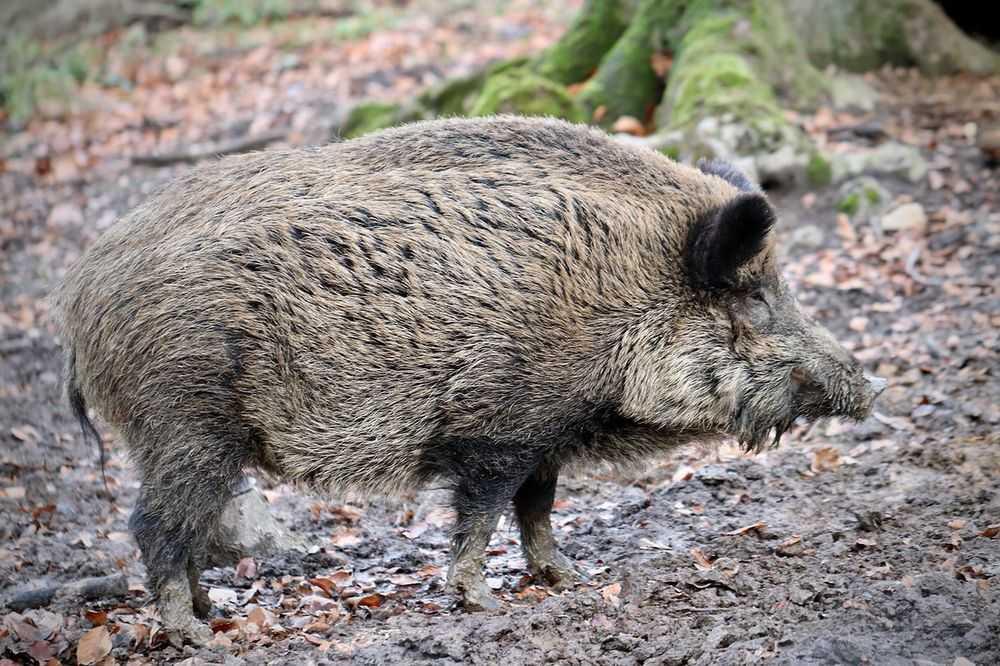 v zone otchuzhdenija fukusimy poselilis gibridy svinej i kabanov - В зоне отчуждения Фукусимы поселились гибриды свиней и кабанов