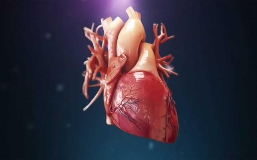 Если сердце – это мышца, то почему она не устаёт?